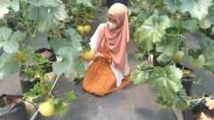 Budidaya melon dengan sistem irigasi tetes berbasis tehnologi